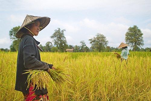 Laosianos cultivando arroz