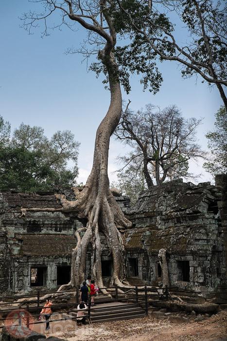 El enorme árbol cogido al templo