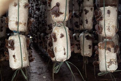Cultivo de setas