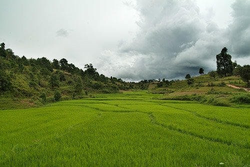Extensos arrozales de color verde intenso