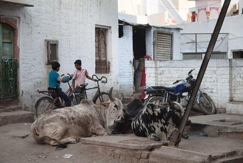 Las vacas, las dueñas de la calle