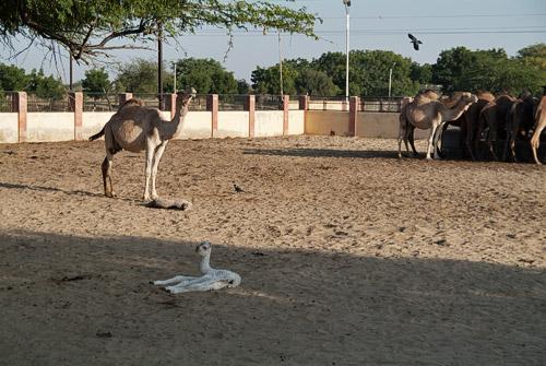 La cría de camello