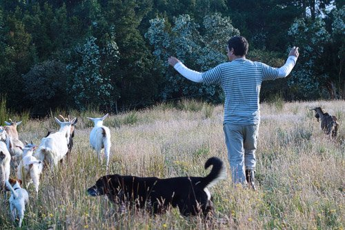 Llevando a las cabras a ordeñar. WOOFing en Chile