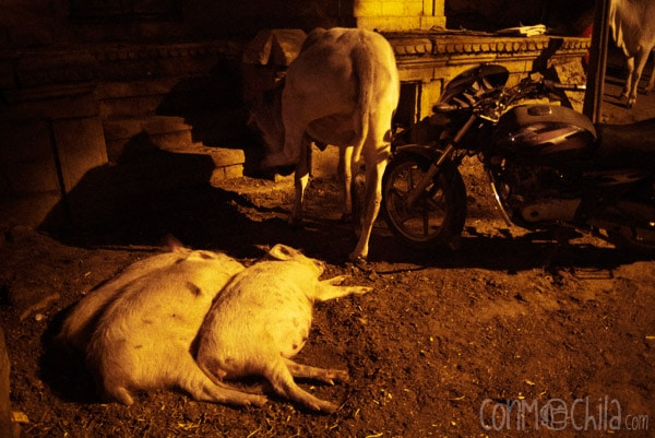 3 eran 3, los cerdos dormilones...