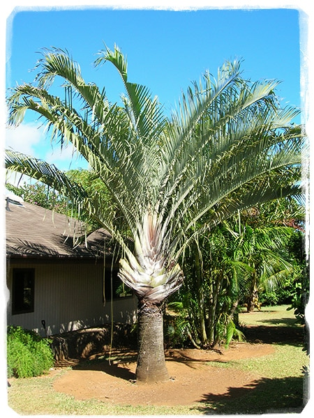 Dypsis decary (Foto ©Forest & Kim Starr)