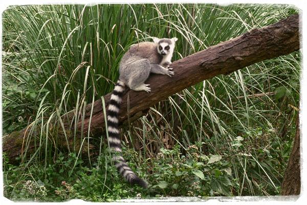 El archiconocido Lemur Catta