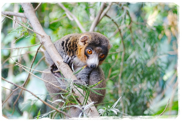 Eulemur Mongoz (Foto: @animaux-photo. com)