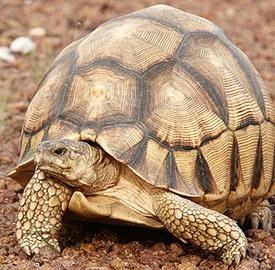 La tortuga Astrochelys yniphora (Foto: © Anders G.J. Rhodin)