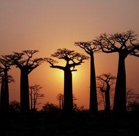 Baobabs de Kirindy Mitea
