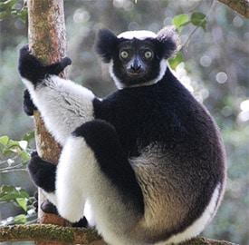 Indri indri (Foto: @towelspacked)