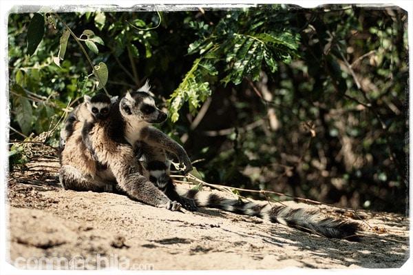 El precioso lemur de cola anillada