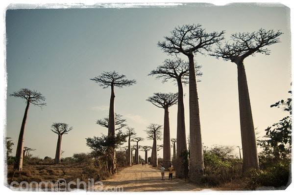 La avenida del baobab