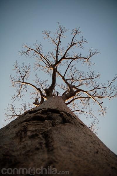 Detalle del baobab
