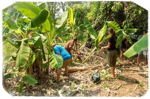 Cortando y recogiendo troncos de banano