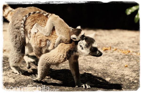 Lemur con dos crías