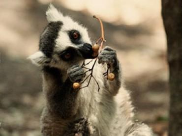 Cap. 18 – Visita a los encantadores lemures de cola anillada