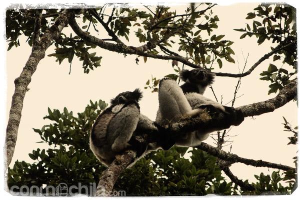 Una pareja de indris