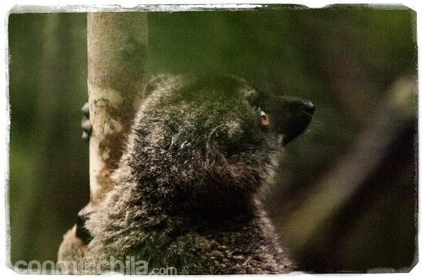 Vista de cerca del simpático lemur