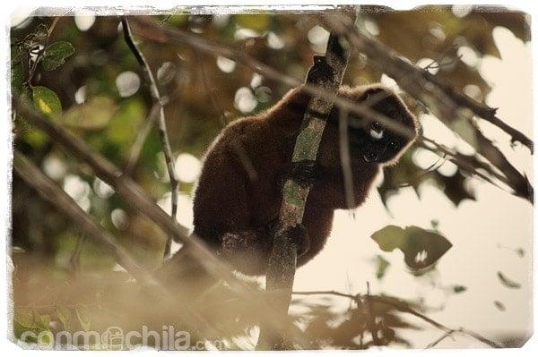 Un lemur pardo común