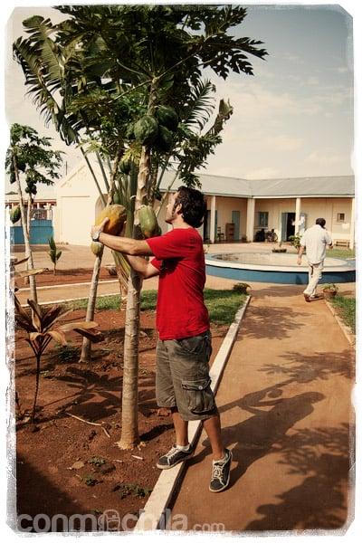 Toni recolectando una papaya