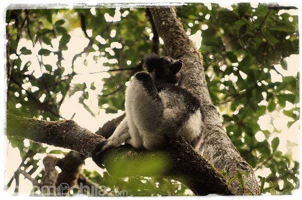 Indri en la reserva de Analamazaotra