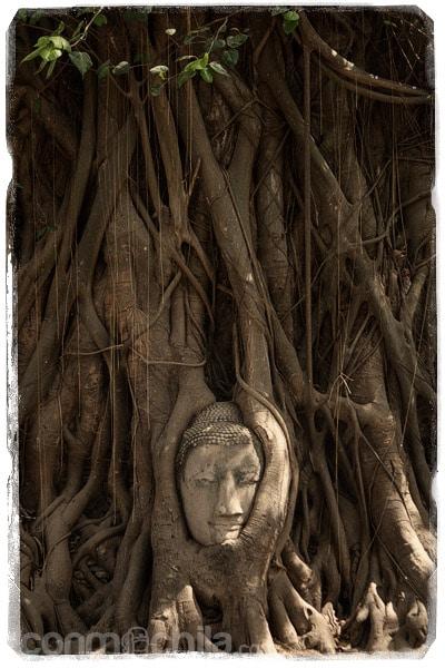 La famosa cabeza de buda en las raíces
