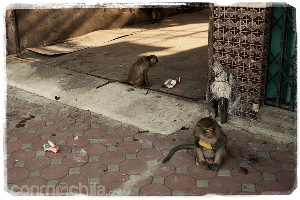 Monos comiendo y jugando con lo que sea