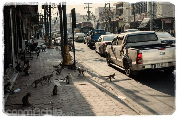 Monos a la caza de los coches
