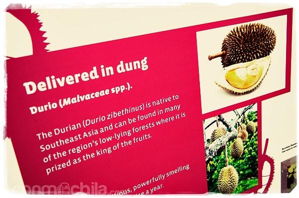 El rico durian