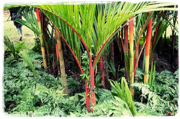 Las palmeras de tronco rojo