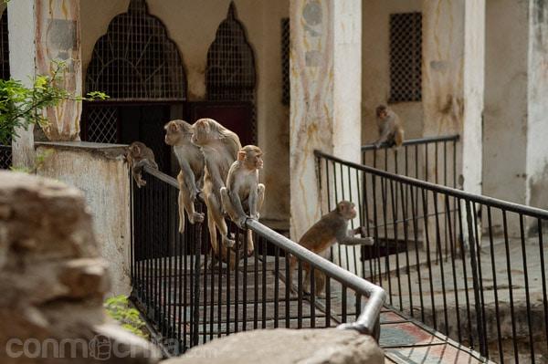Más monos