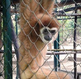Gibones y turismo en Tailandia, la realidad que nunca te cuentan