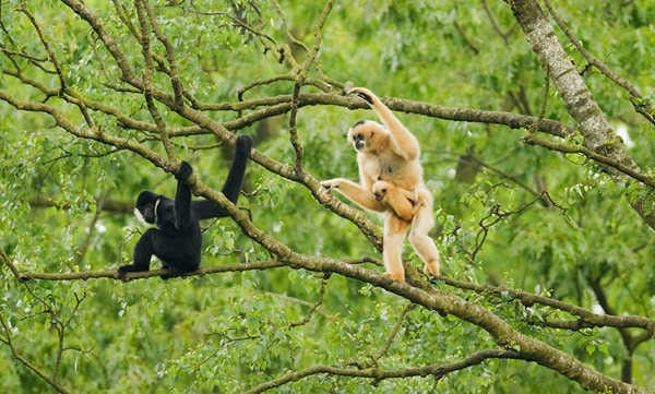 Gibones en libertad ©Terry Whittaker