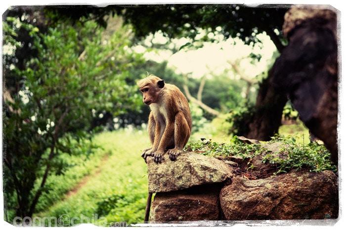 Uno de los macacos