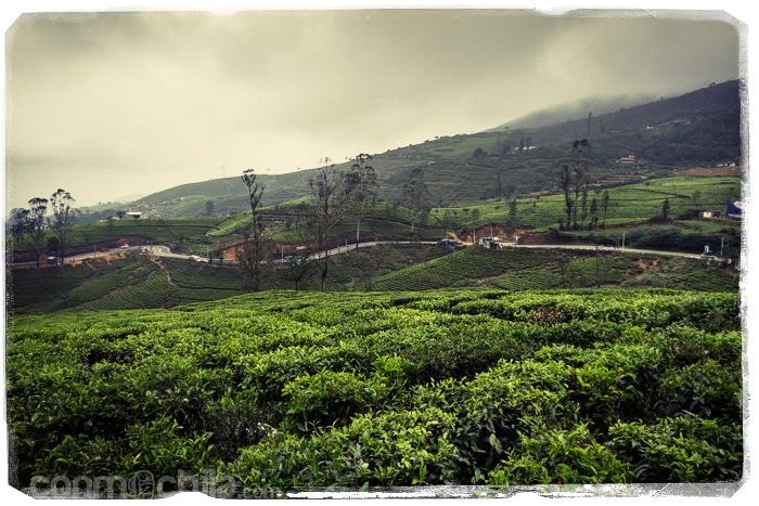 Los campos de té haciendo acto de presencia