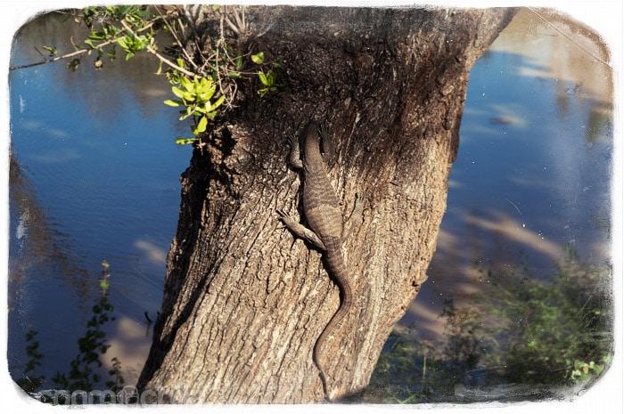 Otro varano trpando por el árbol