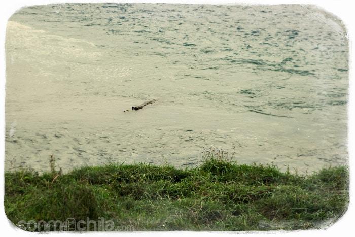 Uno de los cocodrilos en el río