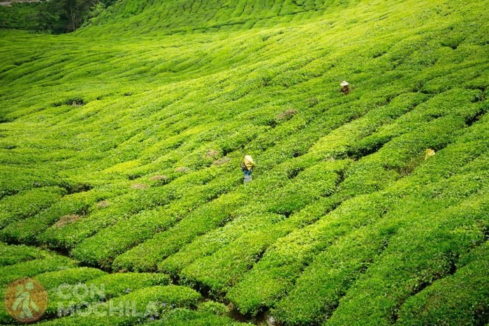 Plantaciones de té BOH en Cameron Highlands