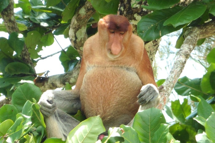 Mono narigudo en P.N Bako