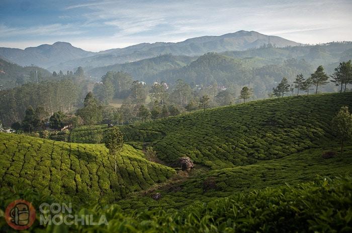 Monótono paisaje de plantaciones de té