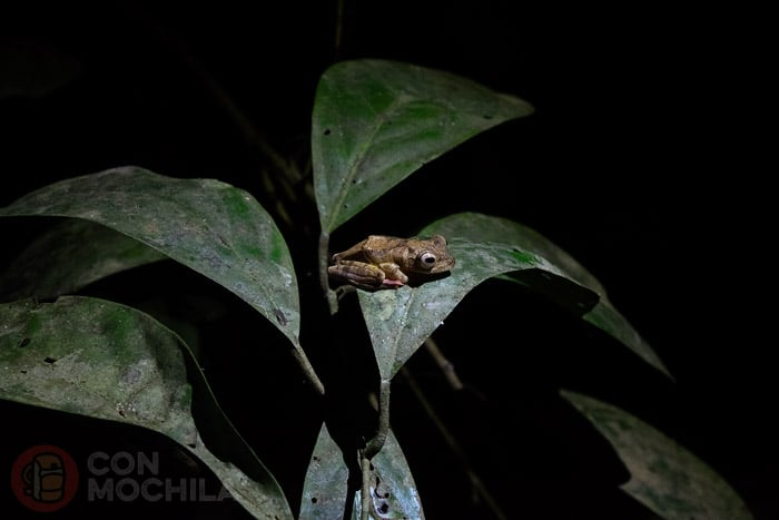 Rana en una caminata nocturna