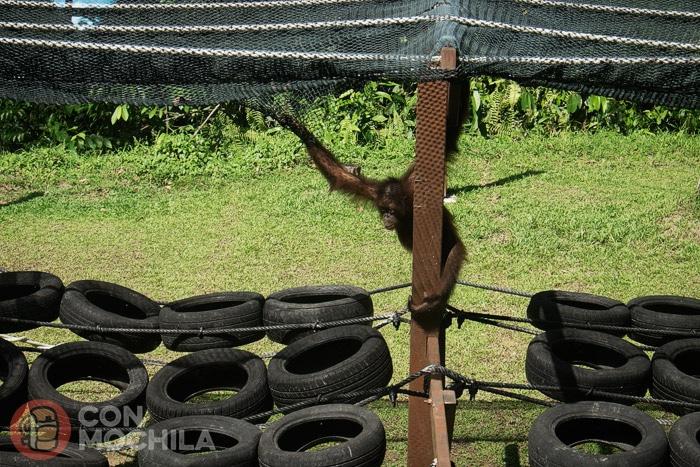 Uno de los jóvenes orangutanes