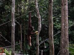 Centros de rehabilitación de orangutanes en Borneo: Sepilok y Semenggoh