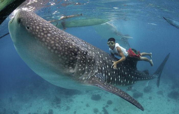 Tiburón ballena en Oslob. Sobran los comentarios...