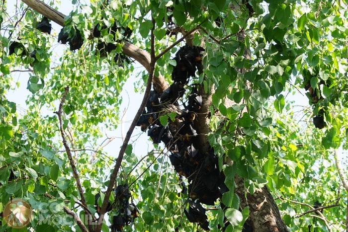 Los zorros voladores colgando del árbol