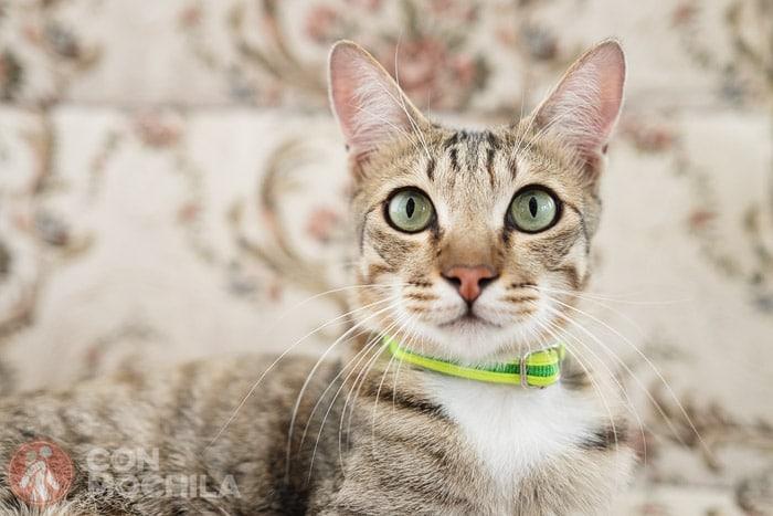 Songkran, el gato con más suerte del mundo