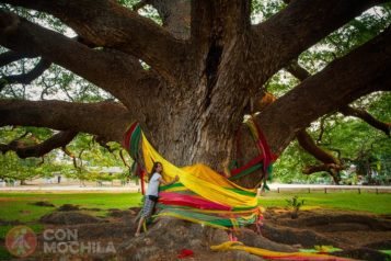 Acacia gigante / Monkey Pod Tree