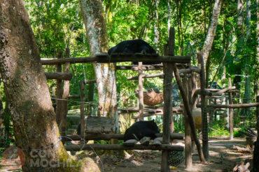 Asiatic Black Bear centro de rescate Cascadas Tat Kuang Si