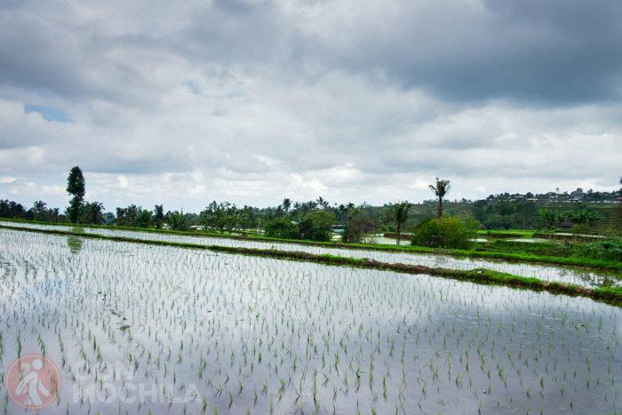 El omnipresente arroz