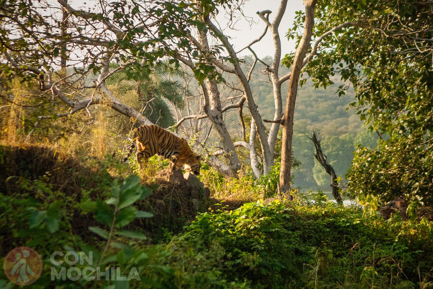 Jaipur Guia de viaje Reserva de tigres de Ranthambhore